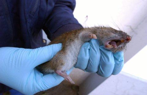 FLERE FELLER OG ROTTER: Sandefjord kommune setter ut flere rottefeller enn tidligere. Matfett i avløpsrør gir skadedyrene gode levevilkår. ARKIVFOTO: Per Langevei