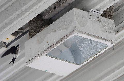 Bak lyktene: Svalekolonien har funnet seg godt til rette i taket på den ubetjente bensinstasjonen St1 ved Haslesenteret.
