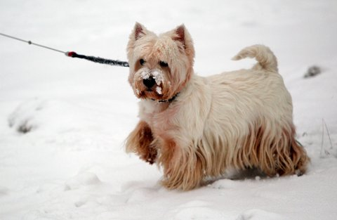 VINTER-BÅNDTVANG: Hundene i Re må gå i bånd, for at ikke skal jage hjortedyra.