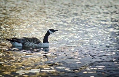 Kanadagås: Den store fuglen ble innført til Norge for 50-60 år siden, og har blitt svært tallrik enkelte steder. (Illustrasjonsfoto)