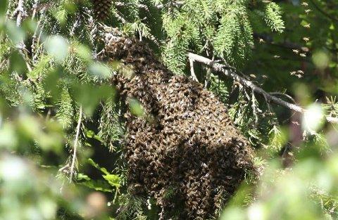 Bier i busken: Kari Verderhus er nærmeste nabo til birøkteren på Glastadheia. Hun har sendt bekymringsmelding til fylkesmannen etter hun fikk 60.000 bier i hekken i sommer. Foto: Kari Vederhus