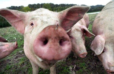 ULIKTVELFERDSNIVÅ:Griser i friluft. Ikke alle griser har det så godt, ifølge oppslag hos NRK.