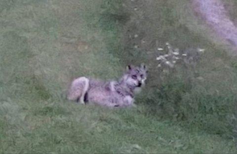 TI METER: Dette bildet tok Ellen Bahringer Haugsnes fra feriehuset sitt på Slettås i begynnelsen av juli. Hun antar at ulven var så nær som ti meter fra husveggen.
