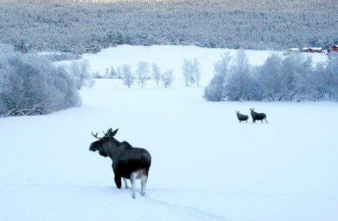 PÅ høring:¬Forslaget til kommunal hjorteviltplan for Røros kommune er lagt ut til høring. Der foreslås det en forsiktig økning av bestanden med et langsiktig mål om at man kan felle 200 dyr i året i kommunen. Arkivfoto: Ola Rye¬