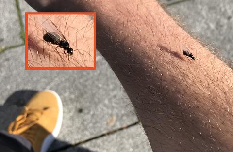 MAUR: Flere steder på Østlandet har maur møttes i svermer  torsdag kveld.