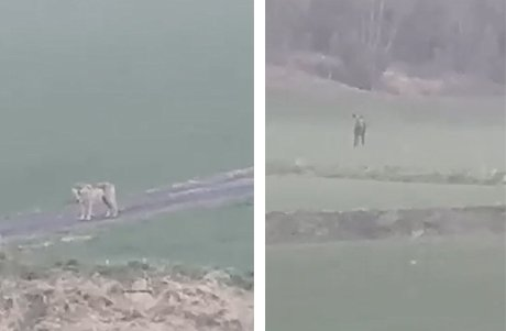 JAGET: Ulven ble den jagede part da den møtte på en elg i Svinndal.