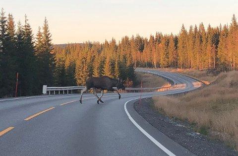 VÆR OBS!: Plutselig kan elgen komme ut i vegbanen. Denne kom luntende over fylkesvei 247 som andre elg over veien.