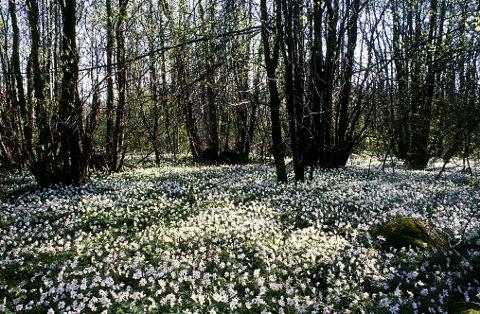 I svartorskogene langs kysten danner hvitveisen tette tepper i april og første halvdel av mai.