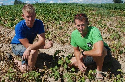 TRIST SYN: Mange potetåkrer i distriktet er et sørgelig syn etter tørkesommeren. Potetprodusentene Kåre Færgestad (til høyre) og Terje Fossen-Hellesjø må belage seg på en betydelig reduksjon i avlingene med dertil hørende milliontap. Foto: Jon Wiik