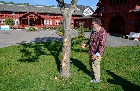 Svein Åkerholt fortviler over hva vandaler har gjort med kastanjetreet på tunet til Kurbadet.