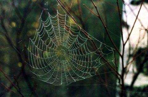 Tenk deg om før du fjerner spindelvev. Det er der fordi edderkoppen finner mat der, og det den spiser, er som oftest en større plage for oss mennesker enn edderkoppen selv.