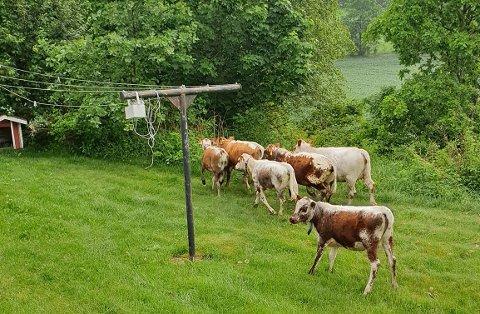 KU-UTFLUKT: Disse seks kalvene tok seg en tur i nabolaget i Undrumsdal tirsdag.