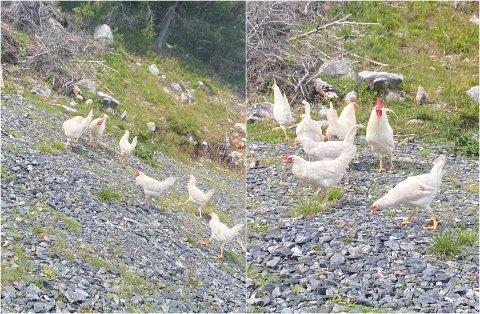BLE DUMPET: Søndag kveld ble drøyt 20 høner og haner dumpet inne på Vesteråsen på Toten. ARKIV/OA