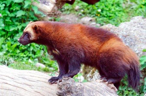 HERJER I FJELLHEIMEN: Mens jerven tar for seg av beitedyr i fjellet i Gudbrandsdalen, har beitedyra i Valdres rolige dager.