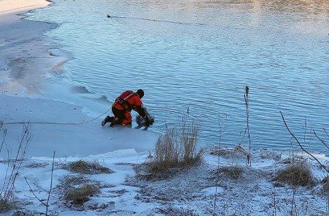 FRIGJORT: Frosset fast i isen var det vanskelig for svanen å komme seg tilbake på elva. Brannvesenet fikk den løs, men viltnemda tok den med seg.