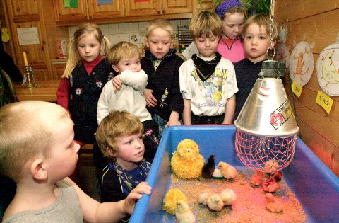 Barna i Gaustadgrenda barnehage, avdeling Nordigarden har klekket ut kyllinger i barnehagen.  Foto: Ann Charlotte Johannessen, 04.04.2001