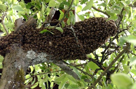 BIER PÅ TUR: Mandag fikk en oppsitter i Øyer en sverm med tusener av bier på besøk. Politiet ble varslet og kontaktet den som angivelig eier svermen. Birøkterlagets leder anbefaler folk som opplever lignende, å kontakte dem. Arkivfoto