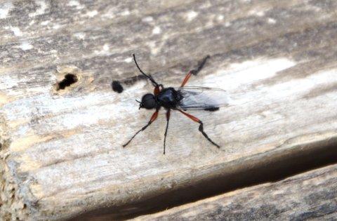 Stor: Hårmyggen liknar meir på ei flugu enn mygg, og årets er langt større enn den «illsinte» vi kjenner så godt.