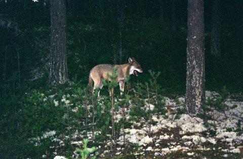 ULV: Her en ulv observert på Elverum tidligere i år.