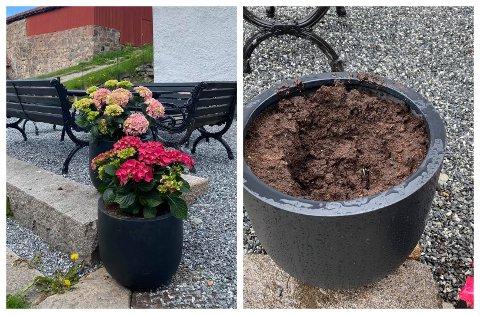 Tidligere denne uka plantet Sebastian Engh flotte hortensia-blomster på utsiden av Curtisen. Dager etterpå ble blomstene stjålet av frekke tyver.