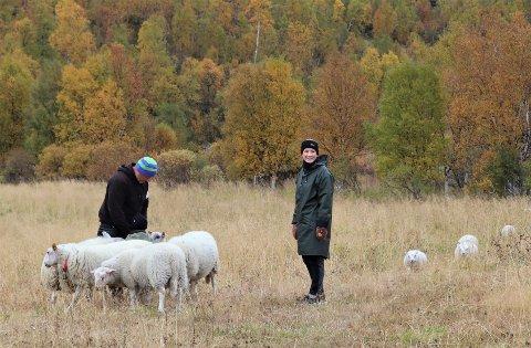 SAU PÅ JOBB: Sauene  fra Leirfjord har nå på femte året vært med på å hindre gjengroing på Eldsmo gård i Harvassdalen. Her innehaver Per Einar Steinrud med dattera Andrea..