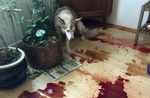 SYK: Huskyen Saki er en av hundene som har blitt syke. Den fem år gamle tispa er på bedringens vei.