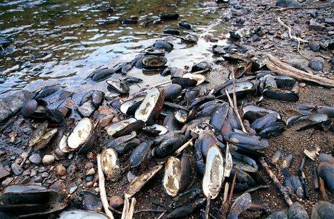 ELVEPERLEMUSLINGER. Ved liten vannføring i Lågen kan elveperlemuslinger plukkes opp i store mengder langs elvebreddene. Men bare et fåtall inneholder perler av interessant størrelse.