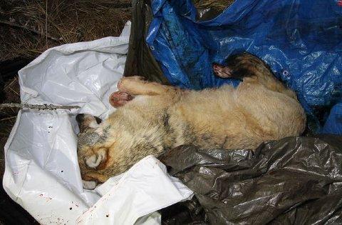 SKUTT: Ulven ble skutt av 45-åringen, og senere gjemt i en jaktbu i Eltdalen.