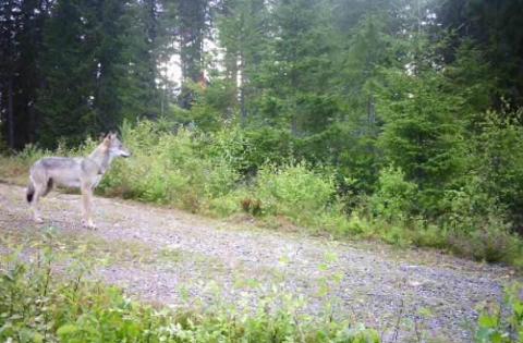 ULV: Denne ulven ble fotografert av et viltkamera ved Militærvegen på grensen mellom Løten og Elverum mandag.