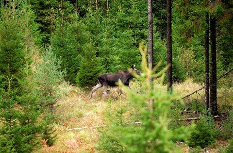 ELG I SIKTE: Tirsdag går startskuddet for årets elgjakt.