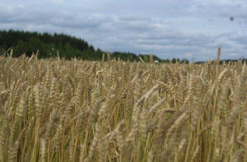 Rakkestadbonden søkte om erstatning for avlingssvikt i kornproduksjonen for 2013. Fylkesmannen i Østfold mener det er gitt uriktige avlingstall i søknaden.