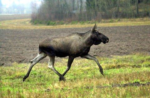 ELGJAKT: Førstkommende torsdag starter elgjakta i Sarpsborg-distriktet. Det er gitt fellingstillatelse på 130 dyr.