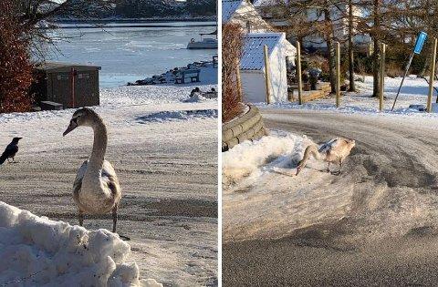 Denne svanen i Havnevegen i Tananger holder seg tett opp til husene.