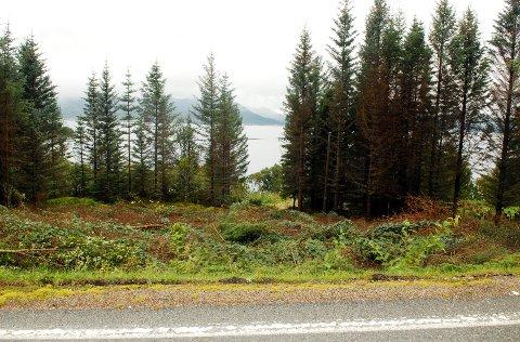 Glad konsentrerer seg i første rekke om å felle trærne langs veien. Noen steder er det også blitt åpning ned mot sjøen.
