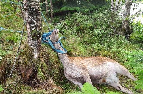 Siv Førde og Petter Refsnes fann ein daud hjort i hagen sin, vikla inn i band frå sand-handballbana.