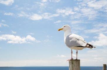 SJUK ELLER DAUD: Måke er ein av fuglane som du må melde inn dersom du finn han sjuk eller daud.