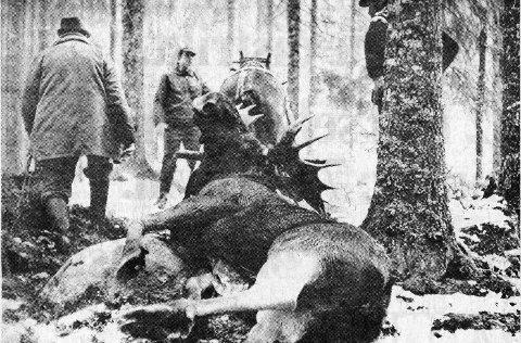 Elgfall: Under elgjakta i 1977 var det snø og guffent vær i motsetning til det dagens jegere opplever. 300 kilo veide elgoksen Heiki Kulblik skjøt første jaktdagen.                                FOTO: THORBJØRN RAABERGET