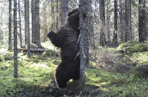 BLINKSKUDD: Det passet godt at denne bamsen klødde seg på ryggen – rett foran viltkameraet.