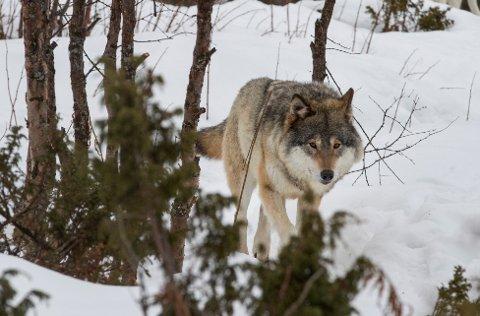 JEGER: Ulven som det jaktes på er selv en jeger. Den tok en elg i Ringebu.
