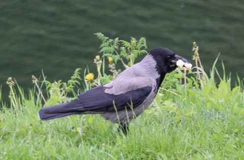 Kråken er et skadedyr i sammenheng viltforvaltning.