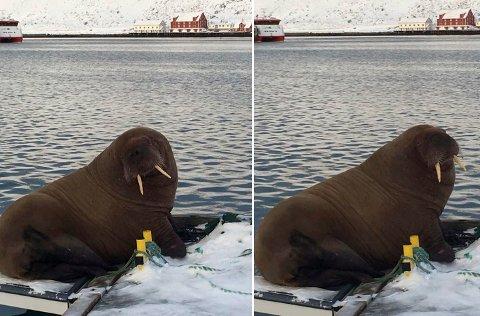 PAUSE: En hvalross tok en hvil på småbåthavna ved Kjøllefjord søndag.