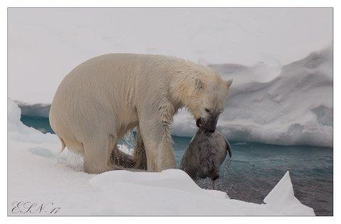 BRUTAL VIRKELIGHET: Sel er mat og forlystelse for en isbjørn. Selen er allerede drept, men blir likevel filleristet så vanndråpene skvetter.