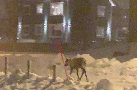 PÅ TUR: Et reinsdyr på vandirng i Anton Jakobsens veg i Tromsø fredag ettermiddag.