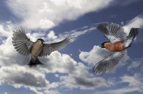 BLINKSKUDD: To dompaper – en han og          en hun – «viser seg» for hverandre. Blinkskuddet er et resultat av Dag Frode Holms fotojakt.Foto: Dag Frode Holm