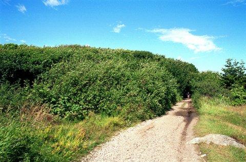 SØRSKOGEN. Gjennom Sørskogens tette grenverk passerer Mileveien som gjennom en tunnel i fjell.