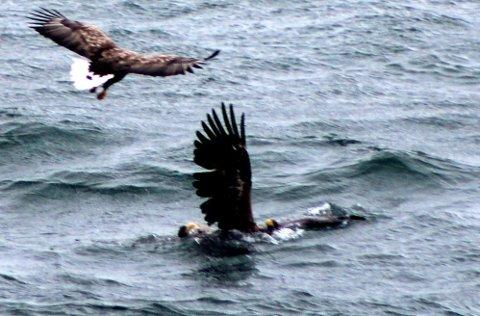 JAKTOMRÅDE:  Dødskampen mellom de to havørnene handlet nok om kontroll over et territorium. Ørna som blander seg inn er trolig maken til en av de kjempende ørnene, sier havørnekspert Alv Ottar Folkestad. Foto: Sindre Thomassen