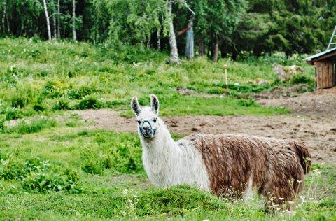 Lamaen Jesus studerer fremmedfolket som er besøk.