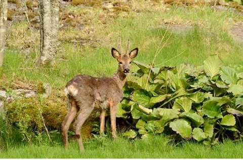 BESØK: Denne flotte rådyrbukken spaserte i en hage i Vollen på mandag denne uken.