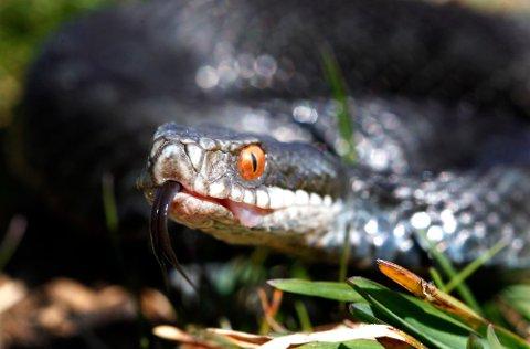 MANGE HAR MØTT HOGGORM I SOMMER: Hoggorm er en av tre ormer i norsk fauna og det er den eneste giftige ormen. Hoggormen er fredet i Norge men ikke utryddingstruet.