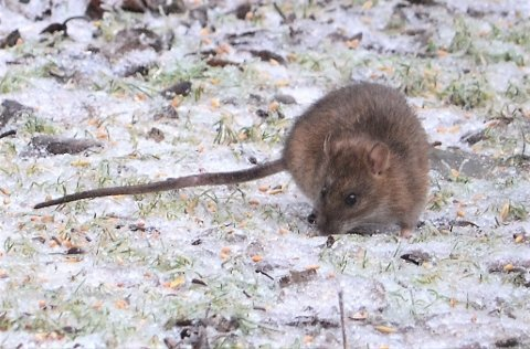 SKADEDYR: Rotter, på lik linje med mus og andre skadedyr, kan både spre smitte og kan påføre store materielle skader på bygningsmasse, maskiner og andre eiendeler.